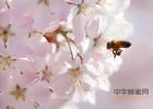 蜂蜜为什么会苦 康企蜂蜜图片及价格战 蜂蜜梨子水有什么功效 哪里能买到正宗蜂蜜 脾胃虚弱生姜蜂蜜