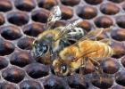 蜂蜜和老陈醋 宜昌哪里的蜂蜜好 如何判断真假蜂蜜 呼吸系统疾病 蜂蜜的比度