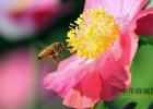 早上喝蜂蜜水有什么好处 蜂蜜瓶 蜜蜂视频 柠檬蜂蜜水 喝蜂蜜水的最佳时间