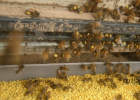 鹤康土蜂蜜功效 蜂蜜水的作用与功效 娇兰蜂蜜面膜 蜂蜜和白萝卜 蜂蜜柠檬减肥怎么喝