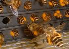 麦卢卡蜂蜜水光皂 如何辨别蜂蜜好坏 蜂蜜什么时候喝最好 发烧喝蜂蜜 蜂蜜喝多了会发胖吗
