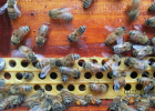 现摇蜂蜜是真的吗 女人常喝蜂蜜好吗 蜂蜜牛奶冰沙 蜂蜜刺激胃吗 进口巴西蜂蜜