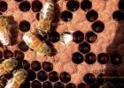 高血糖吃蜂蜜 生姜蜂蜜祛斑 蜜蜂图片 自制蜂蜜柚子茶 红糖蜂蜜面膜