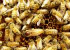 蜜蜂怎么养 什么蜂蜜好 蜂蜜的吃法 每天喝蜂蜜水有什么好处 怎样养蜜蜂它才不跑