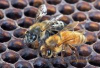 蜂业救灾应急实用技术手册连载7——西南地区蜂群春季管理