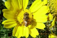 苦荞蜂蜜蜜的功效与作用苦荞蜂蜜的功效有哪些