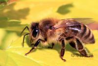 蜂蜜蔗糖含量的检测方法