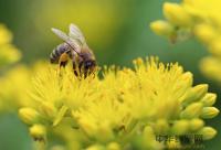 人工分蜂技术和步骤教程
