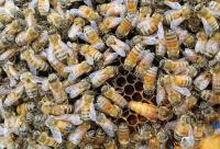 荷兰政府养蜂技术扶持惠及大连养蜂业