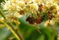 什么是租蜂授粉,租蜂授粉的好处有哪些