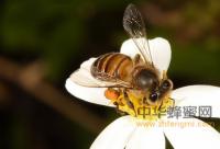 蜂蜜治疗咳嗽比药物效果好
