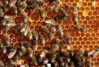 蜂蜜人参核桃红枣能一起吃吗