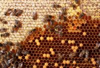 野生中蜂的搜捕方法介绍
