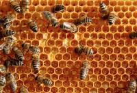 蜂蜜具有很好的营养价值 蜂蜜的功效