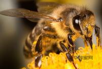 山楂蜂蜜的功效及作用