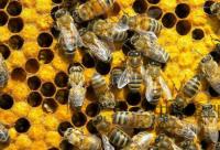 蜂蜜枣红色的味酸能是好蜂蜜吗?