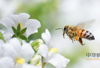 蜂蜜加醋减肥有效吗