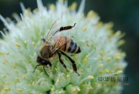 关注:蜂蜜食用不当 当心变致命毒药