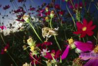 澳洲的蜂胶好吗 澳洲蜂胶有什么功效