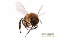 """家养蜜蜂扰""""坏""""居 城管出手帮忙""""请""""走"""
