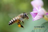 蜜蜂春繁喂水方法