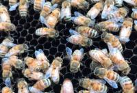 朗氏十框蜂箱养蜂好处