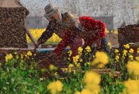 桔梗蜂蜜茶可以治干咳_桔梗治疗咳嗽的偏方