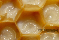 荆条蜜多少度会结晶?荆条蜜的结晶温度