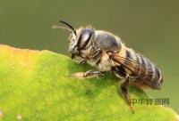 蜂蜜偏方之土豆蜂蜜治疗胃痛