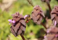 蜂胶的黄酮含量是怎样计算出来的?