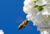 患白垩病蜂群的温湿度研究(文摘)