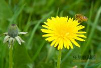 上万只蜜蜂突袭英国海滩游客帐篷 养蜂人花4小时清理