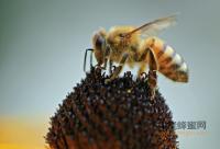 什么是黑蜂蜜?哪些品种?