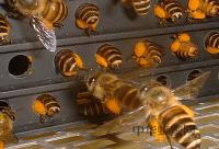 中国养蜂鼻祖-姜岐