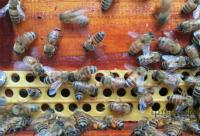 活框蜂箱饲养中蜂方法