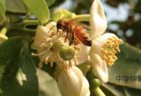 蜂胶的六大功效
