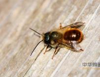 蜂胶液中总黄酮含量测定方法的改进