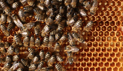 蜜蜂越冬饲料准备和蜂群越冬管理